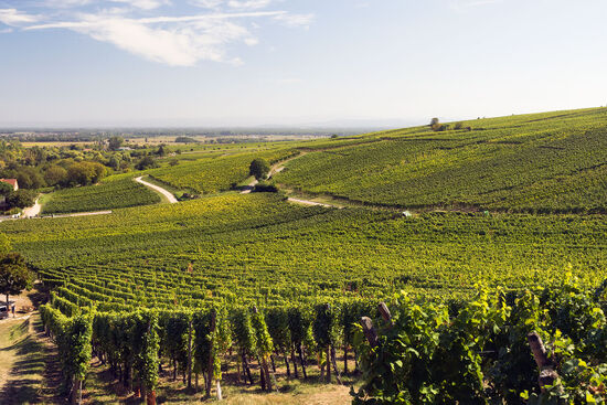 Vineyards at Hunawihr in Alsace, France (photo © hidden europe).