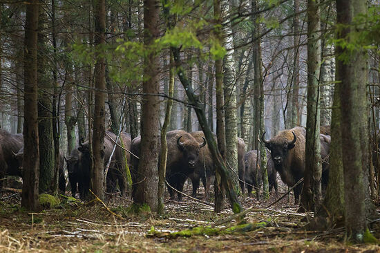 European bison (sometimes called wisent) in Bialowieski Forest in eastern Poland (photo © Smellme / dreamstime.com).